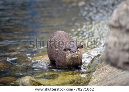 Otters by the riverside at feeding time - stock photo