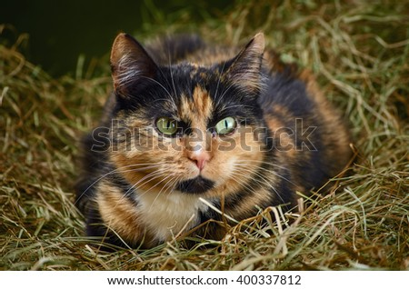 Outbred Cat in the Hay - stock photo