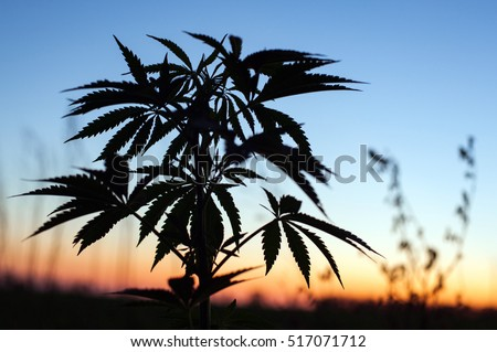 Outdoor cannabis cultivation silhouette marijuana plant