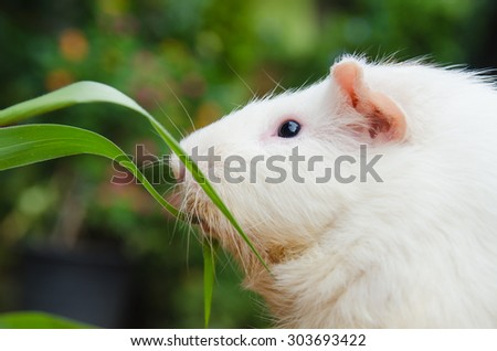 outdoor cute guinea pig white color eating grass.