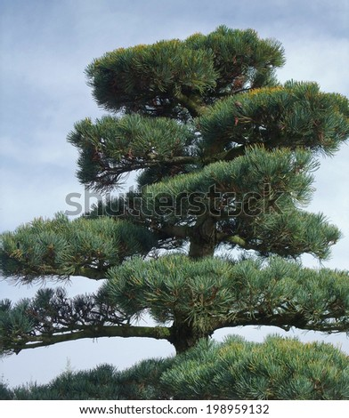 outdoor detail of a big conifer Bonsai plant - stock photo