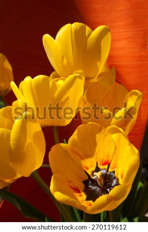 outdoor,flower,tulip,object - stock photo