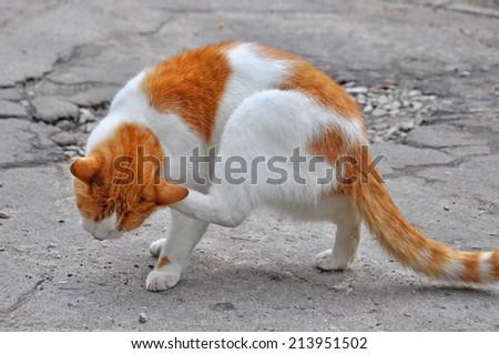 Outdoor orange cat scratching fleas in yard - stock photo