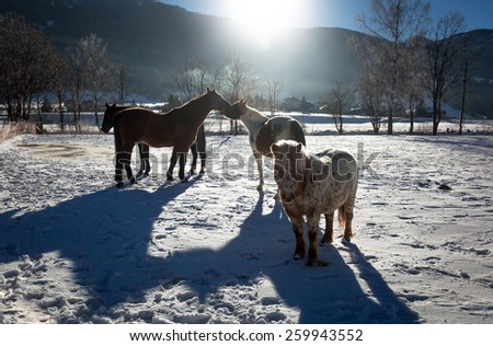 Outdoor photo of of farm with pasturing horses at winter sunny day - stock photo