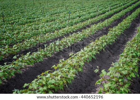 Outdoor photo of soybean plants in a field,soybean field with rows of soya bean plants, selective focus - stock photo