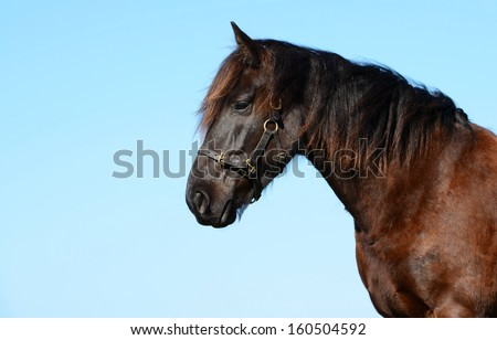 Outdoor portrait of a beautiful young purebred Friesian horse gelding with observant facial expression ad flying black mane in the wind in front of blue sky background.