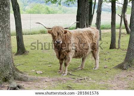 Outdoor portrait of a shaggy highland cattle looking at the viewer among spring trees and plowed farmland. - stock photo