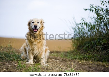 Outdoor portrait of an obedient dog; an elderly female golden retriever. - stock photo