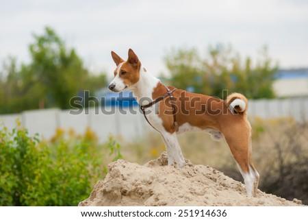 Outdoor portrait of Basenji dog - stock photo