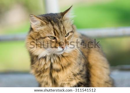 Outdoor portrait of beautiful Siberian cat - stock photo
