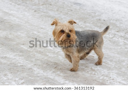 Outdoor portrait of cute Norfolk terrier on a winter street - stock photo