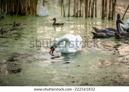 Outdoor shot beautiful white swan swimming with cygnets - stock photo