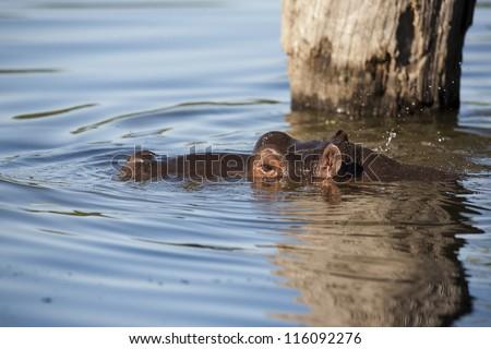 Outdoors Hippopotamus in Water at Lake Panic Skukuza - stock photo
