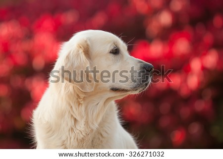 Outdoors portrait of a cute Golden Retriever on a natural red background