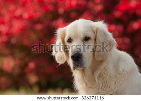 Outdoors portrait of a cute Golden Retriever on a natural red background - stock photo