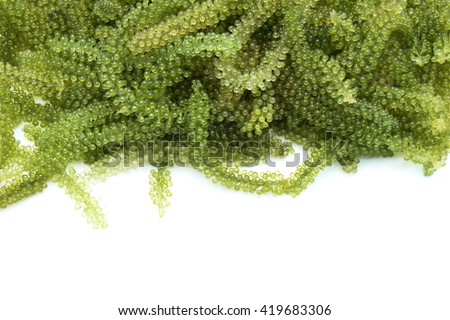 Oval sea grapes seaweed/green caviar/Caulerpa lentillifera seaweed. Isolated on white background. Space for texts. - stock photo