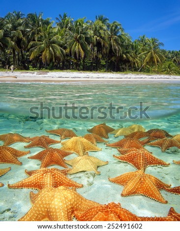 Over-under on the shore of a tropical beach with coconut trees and many starfish underwater on sandy seafloor - stock photo
