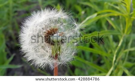 Overblown dandelion flower close-up - stock photo