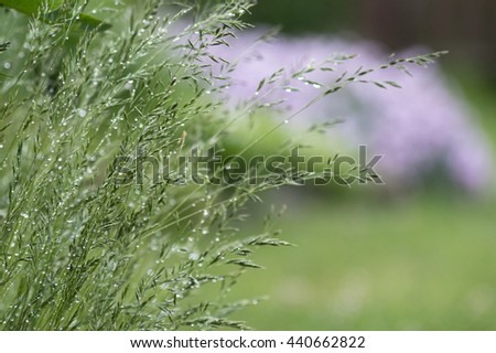 Overgrown grass with raindrop in the garden, flower bed in background - stock photo