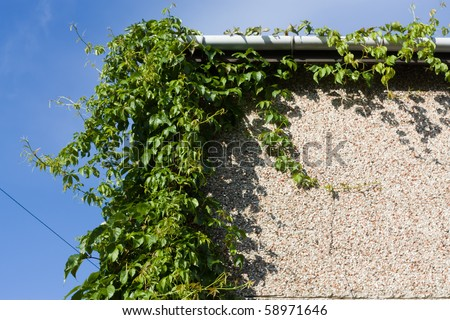 Overgrown Virginia Creeper on corner of house needing pruning back. - stock photo
