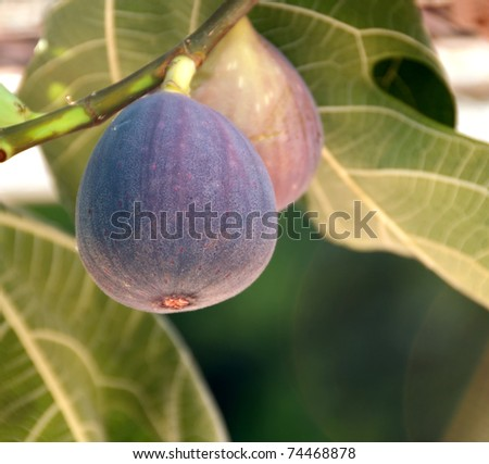 overhanging figs on the tree - stock photo