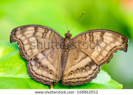 Overhead view of brown butterfly on green leaf.