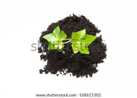 Overhead view of young seedling growing in a soil, on rustic wooden board, isolated on white