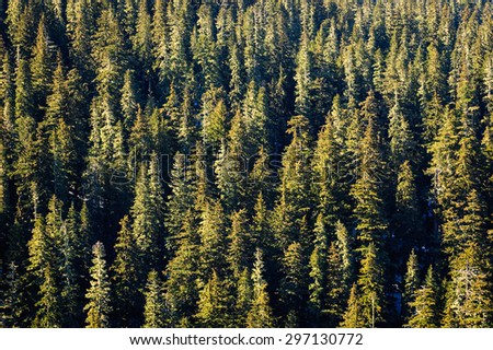 Overlooking Pines at Mount Rainier National Park - stock photo