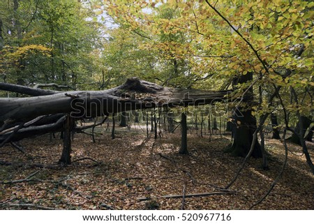 Overturned beech tree in a Danish autumn forest