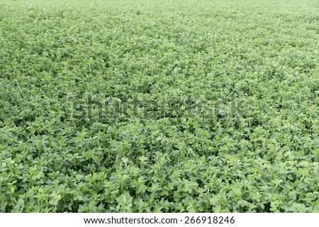 Overview of an alfalfa field (Medicago sativa) - stock photo