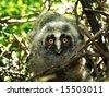 Owl - stock photo