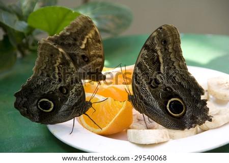 Owl butterflies at lunch (Butterfly House in Wien) - stock photo