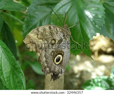 owl butterfly resting on tree trunk - stock photo