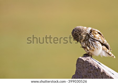 owl, clear  background Little Owl / Athene noctua - stock photo