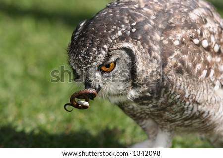 Bird eating raptors stock photos images pictures for Do owls eat fish