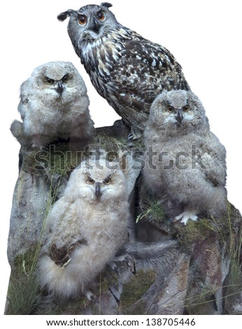 Owl family - parent and three chick isolated over white background - stock photo
