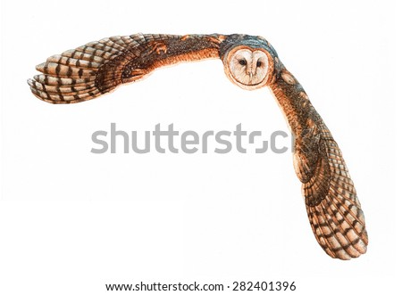 Owl flying. Barn owl on white background. Watercolor illustration.