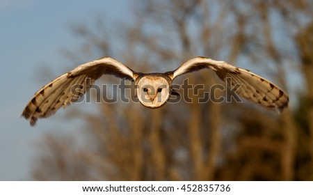 owl in flight - stock photo
