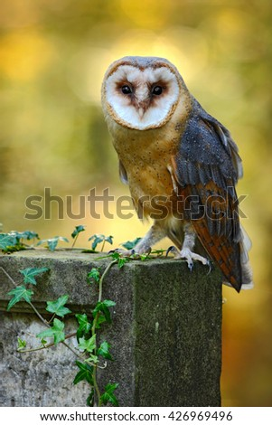 Owl in the forest. Barn owl, Tito alba. Nice owl sitting on stone fence in forest cemetery, nice blurred light green the background, animal in the habitat, United Kingdom. Bird in the forest.  - stock photo