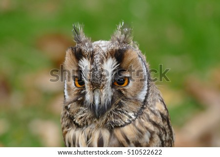 Owl (long-eared)