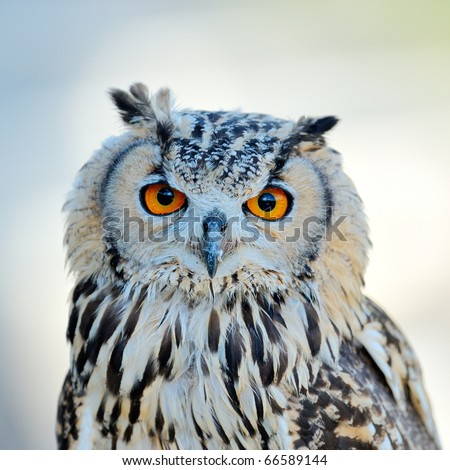 owl portrait - stock photo