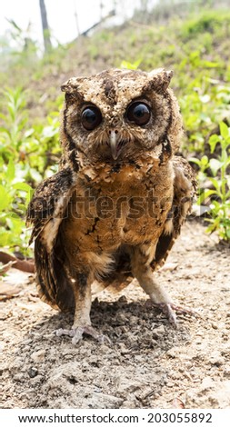 Owl portrait front in nature - stock photo