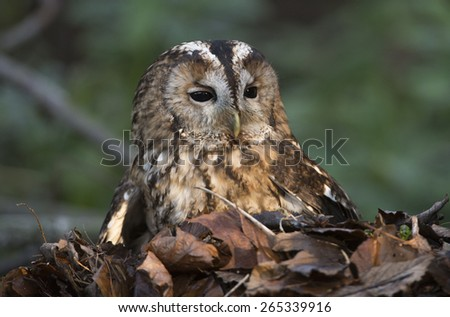 Owl sitting in a pile of leaves - stock photo