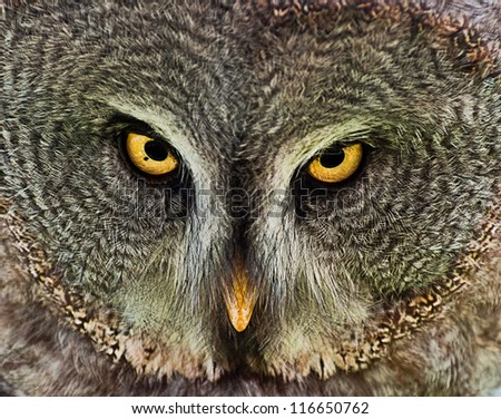 Owl starring at camera. Took in Catalonia, Spain - stock photo