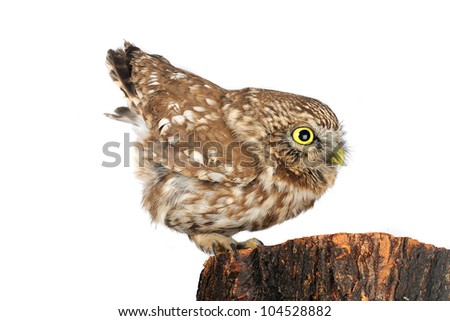 owl the isolated sitting on hemp - stock photo