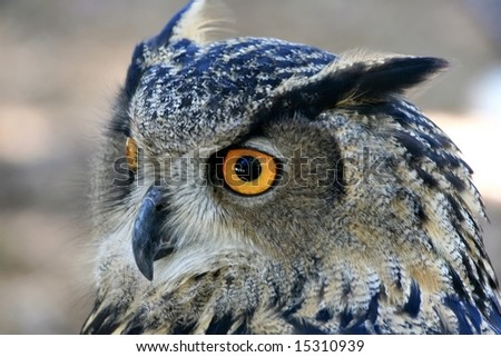 Owl with intense stare. - stock photo