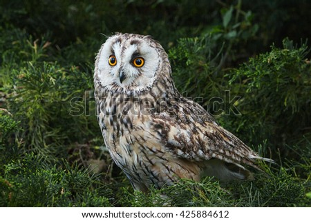 Owl with orange eyes. The eyes of a beautiful long-eared owl stand out against a dark background - stock photo