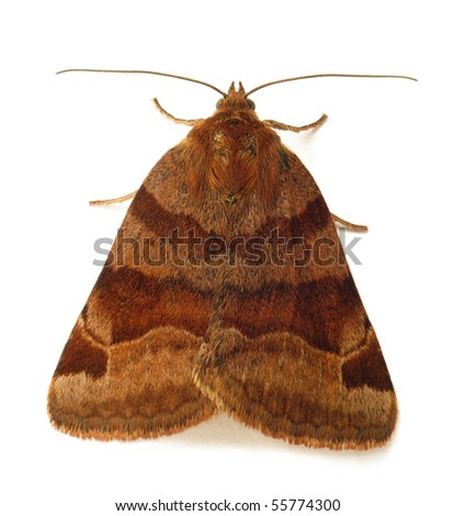 Owlet moth isolated on white - stock photo