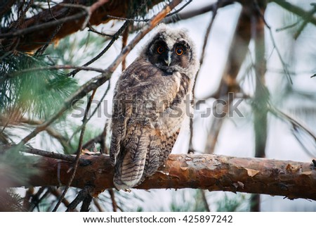 Owlet of long eared owl. Young long eared owl (Asio otus) sitting on a branch of pine tree. Owlet has big eyes and it staring.  - stock photo