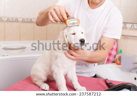 Owner is combing out the fur of retriever puppy after shower  - stock photo